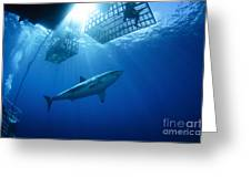 Female Great White With Cages Greeting Card