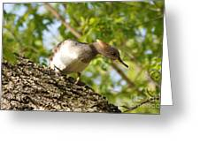 Female Hooded Merganser Greeting Card
