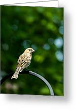 Female House Finch Perched Greeting Card