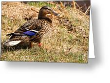 Female Mallard On A River Bank In Alaska Greeting Card