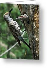 Female Northern Flicker Colaptes Greeting Card