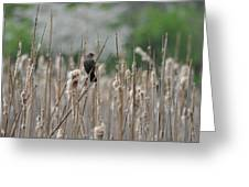 Female Redwinged Blackbird Greeting Card