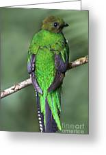Female Resplendent Quetzal - Dp Greeting Card