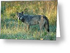 Femle Gray Wolf In The Morning Light Greeting Card