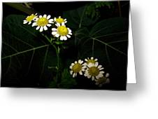 Feverfew In Bloom Greeting Card