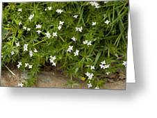 Field Madder (sherardia Arvensis) Flowers Greeting Card