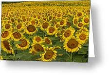 Field Of Domestic Sunflowers Greeting Card by Kenneth M Highfill and Photo Researchers