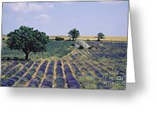 Field Of Lavender. Sault. Vaucluse Greeting Card