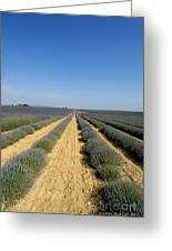 Field Of Lavender. Valensole Greeting Card by Bernard Jaubert