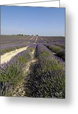 Field Of Lavender. Valensole. Provence Greeting Card
