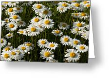 Field Of Oxeye Daisy Wildflowers Greeting Card