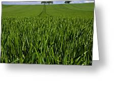 Field Of Wheat. Auvergne. France. Europe Greeting Card