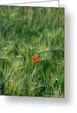 Field Of Wheat With A Solitary Poppy. Greeting Card