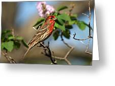 Finch In Lilac Bush Greeting Card
