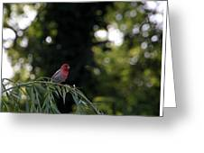 Finch In The Willow Greeting Card