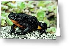 Fire-bellied Frog Atelopus Ignescens Greeting Card