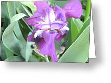 First Iris Of The Spring Greeting Card