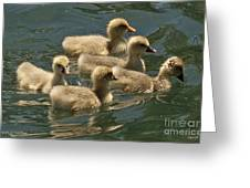 Five Baby Geese Swimming Greeting Card