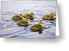 Five Goslings In The Water Greeting Card