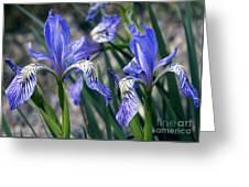 Flag Irises (iris Missouriensis) Greeting Card