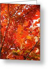 Flaming Maples Greeting Card