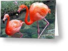 Flamingo River Walk Greeting Card