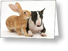 Flemish Giant Rabbit And Miniature Bull Greeting Card