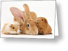 Flemish Giant Rabbit With Guinea Pigs Greeting Card