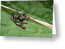 Flies Mating Greeting Card