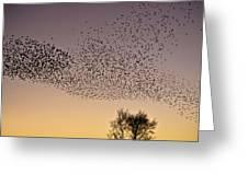 Flock Of European Starlings Greeting Card