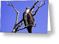 Florida Osprey Greeting Card