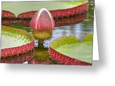Victoria Amazonica Bud Greeting Card