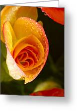 Flower Rieger Begonia 5 Greeting Card
