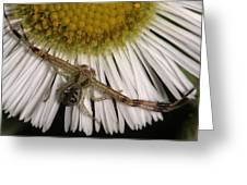 Flower Spider On Fleabane Greeting Card
