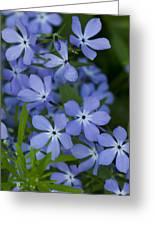 Flower Wild Blue Phlox 1 B Greeting Card