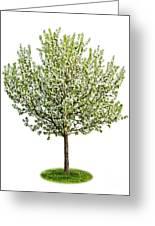 Flowering Apple Tree Greeting Card