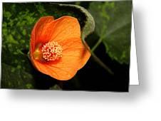 Flowering Maple Singe Flower Greeting Card