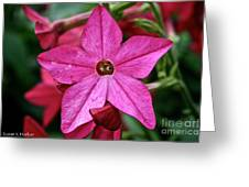 Flowering Tobacco Greeting Card