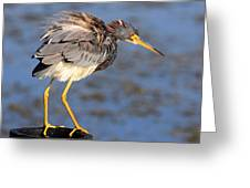 Fluffy Tri Colored Heron Greeting Card