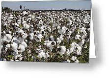 Fluffy White Cotton Bolls Greeting Card