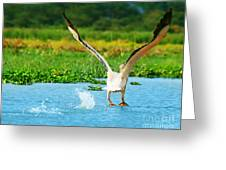 Flying Great White Pelican Greeting Card