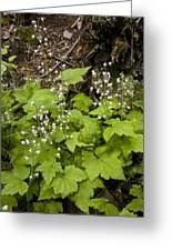 Foamflower (tiarella Trifoliata) Greeting Card