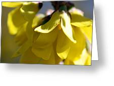 Forsythia Blossoms Greeting Card