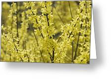 Forsythia In Full Bloom Greeting Card