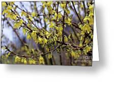 Forsythia 'minigold' Flowers Greeting Card