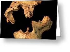 Fossilised Skull, Gran Dolina Greeting Card