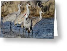 Four Sandhill Cranes Greeting Card