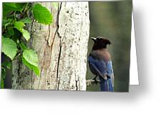 Fox Island Stellar's Jay 2 Greeting Card