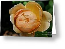 Fragrant English Rose Greeting Card