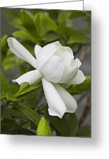 Fragrant White Gardenia Blossom Greeting Card